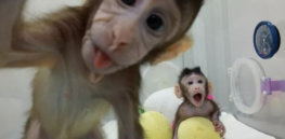 No outrage: Why news of first cloned monkeys barely moved the needle