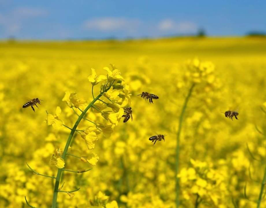 Neonicotinoid insecticides bees 3427