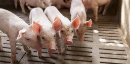 Pigs Patarapong iStock