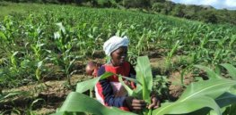 gm maize zimbabwe