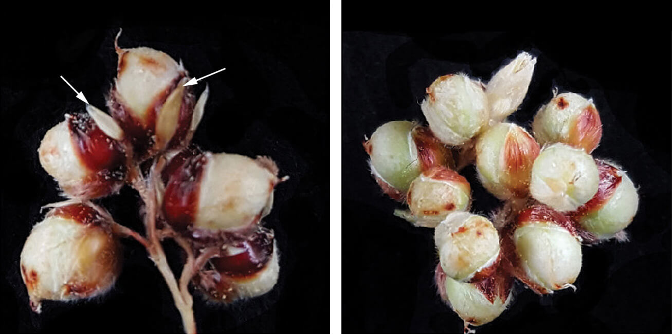 sorghum seed spikelets