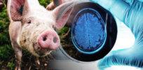 pig brain