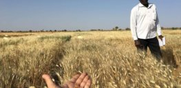 Video: John Innes Centre battles nutrient deficiency with iron-fortified biotech wheat