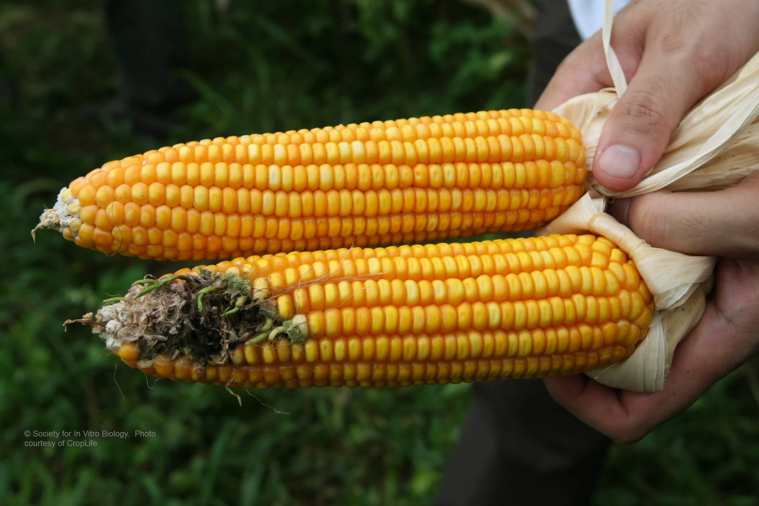 GMO Corn Ears