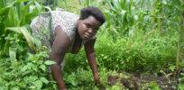 Maize Uganda