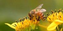 Susan Quals Algood TN Honeybee on Yellow Crownbeard