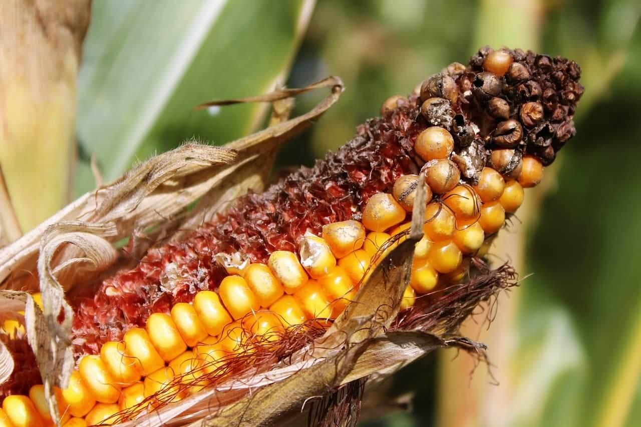 bt corn 4 25 18