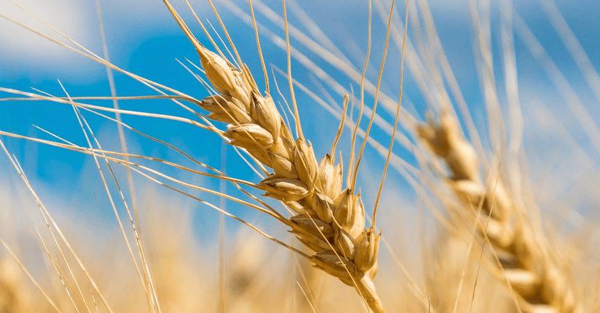 wheat 4 25 18
