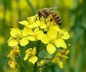 Bee on canola