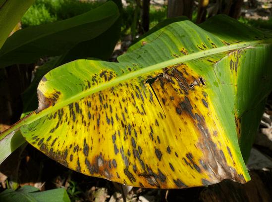 Black leaf streak disease
