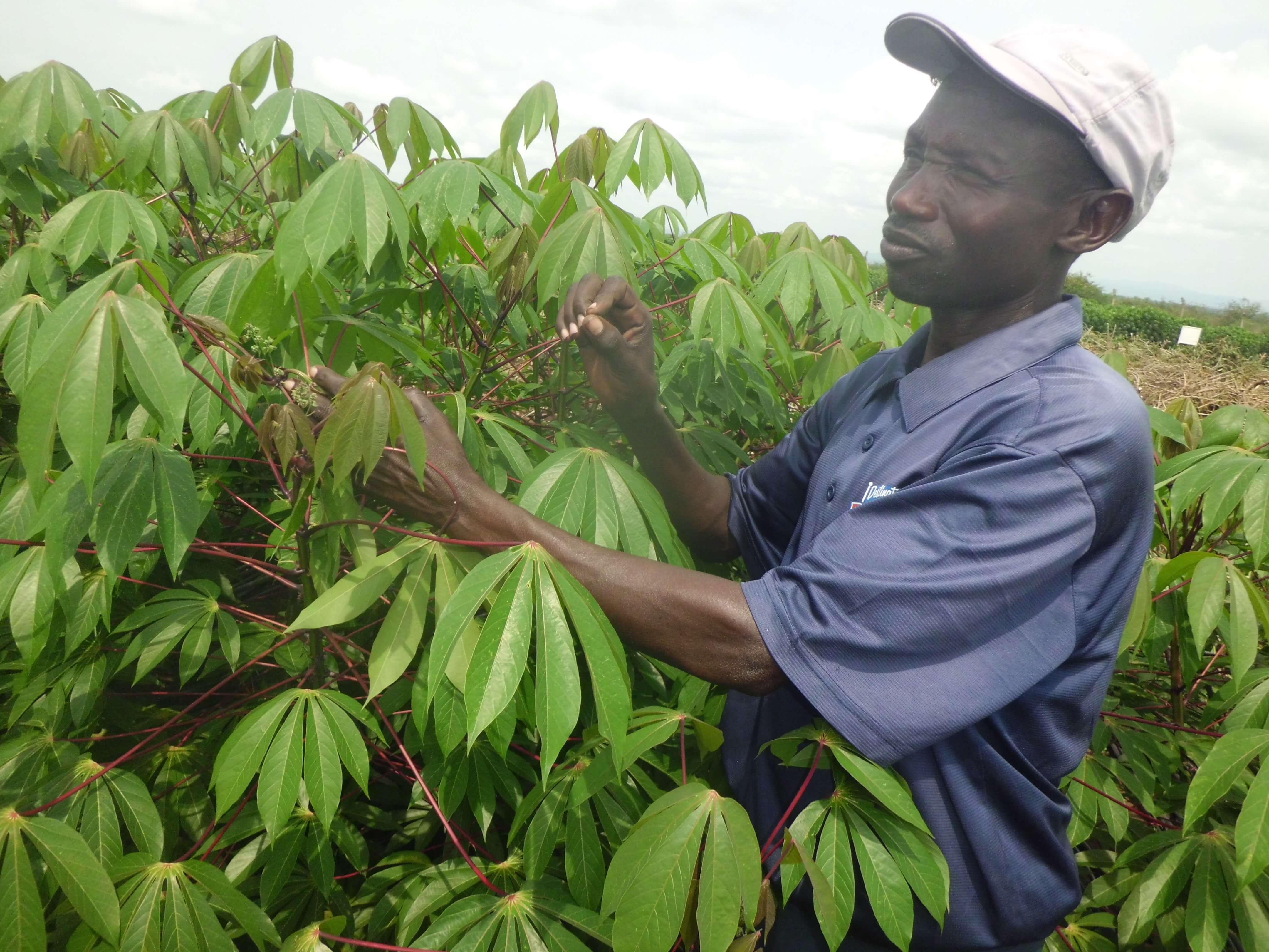 GMO cassava Polination 5 4 18 2