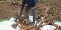 Gmo cassava tubers