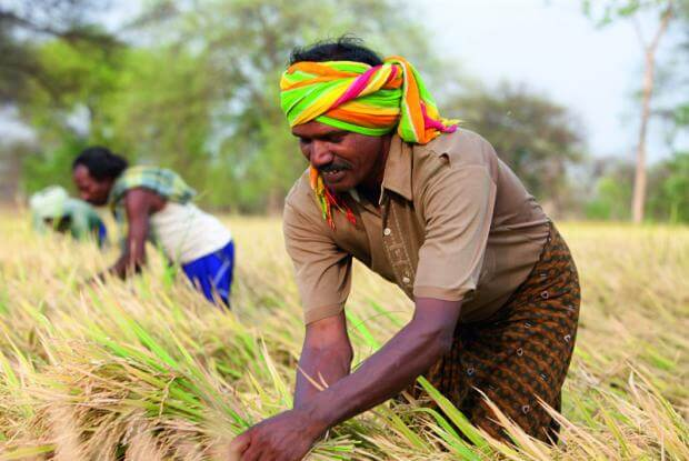 Indian rice farmers increasingly opt for buying high-yielding hybrids  instead of saving seeds | Genetic Literacy Project
