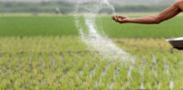 Fertilizer Farm Rice Field