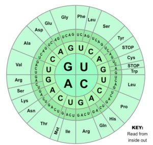 genetic code wheel med