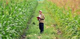 gm crops gmo maize creditciat flickr