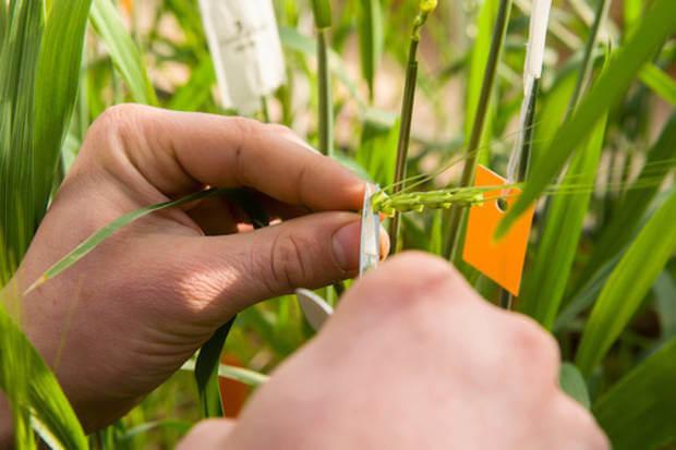 wheat breeding 327237