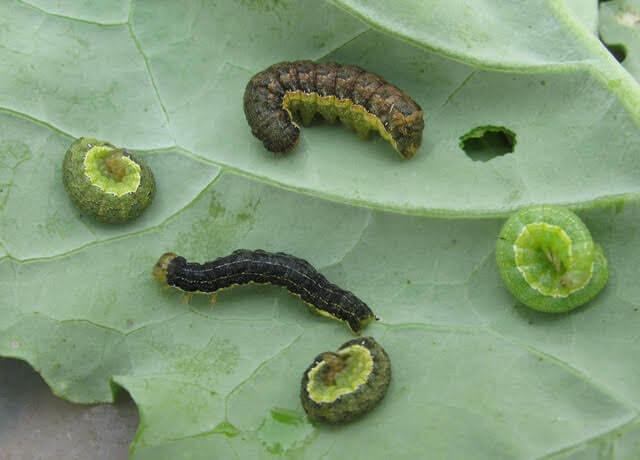 armyworms