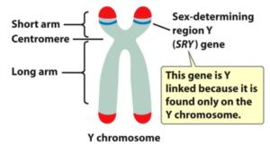 sry gene