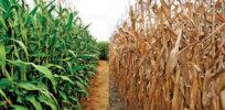 good corn bad corn