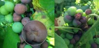 grape rot