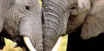 LH ivory trade feat
