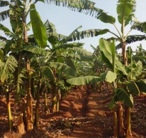 Hybrid banana farm