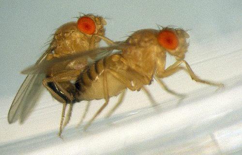 drosophila mating x