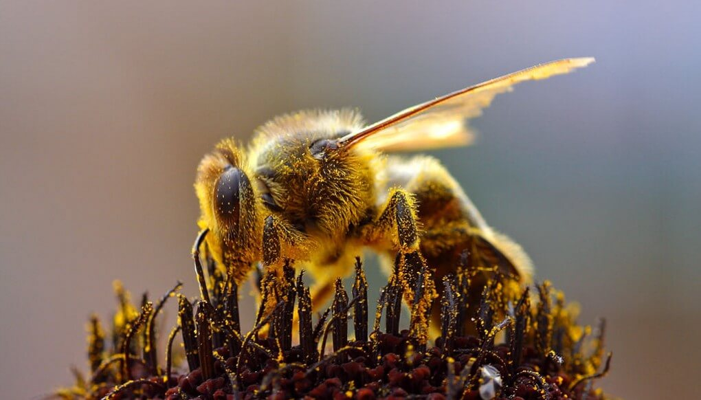 Beepocalypse Myth Handbook: Assessing claims of pollinator collapse - Genetic Literacy Project
