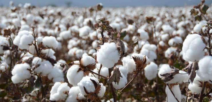 cotton 10 31 18