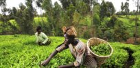 tea kenya farm creditciat flickr
