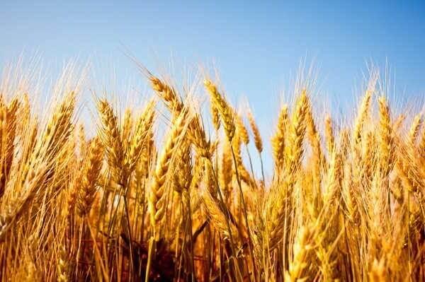 wheat 11 3 18