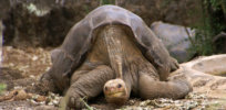 Lonesome George putneymark ccby x