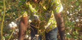 GM Cotton