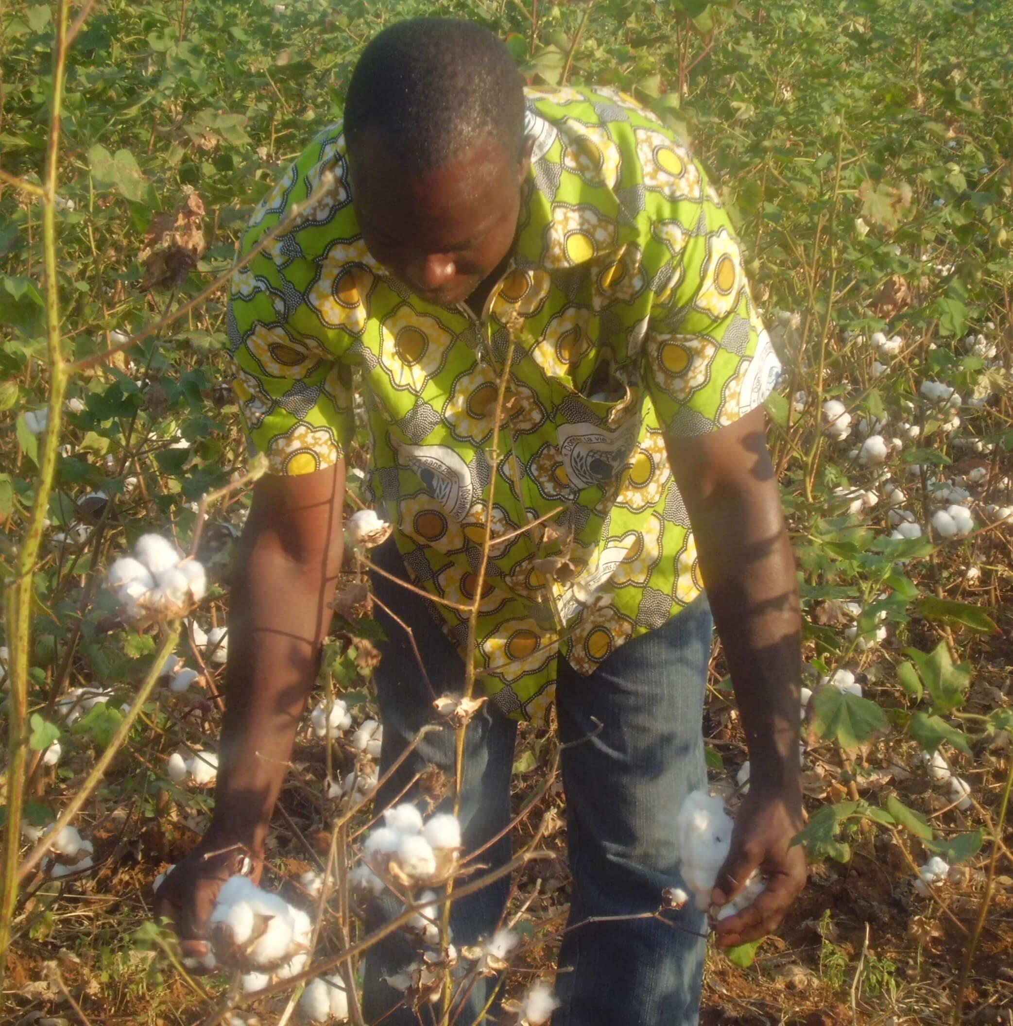 GM Cotton2