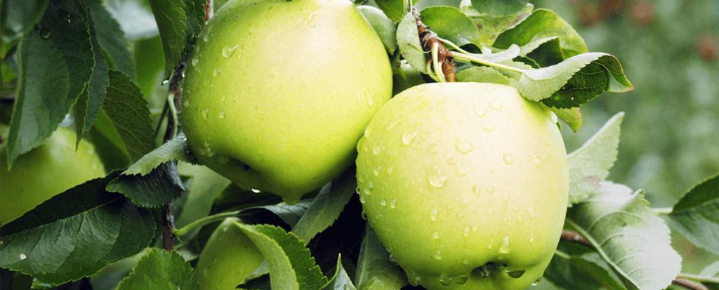 apples 12 12 18