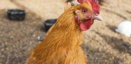 2-3-2019 chicken hen
