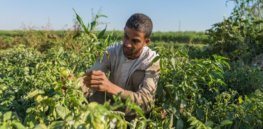 Egypt poised to again lead Africa in agricultural biotechnology innovation