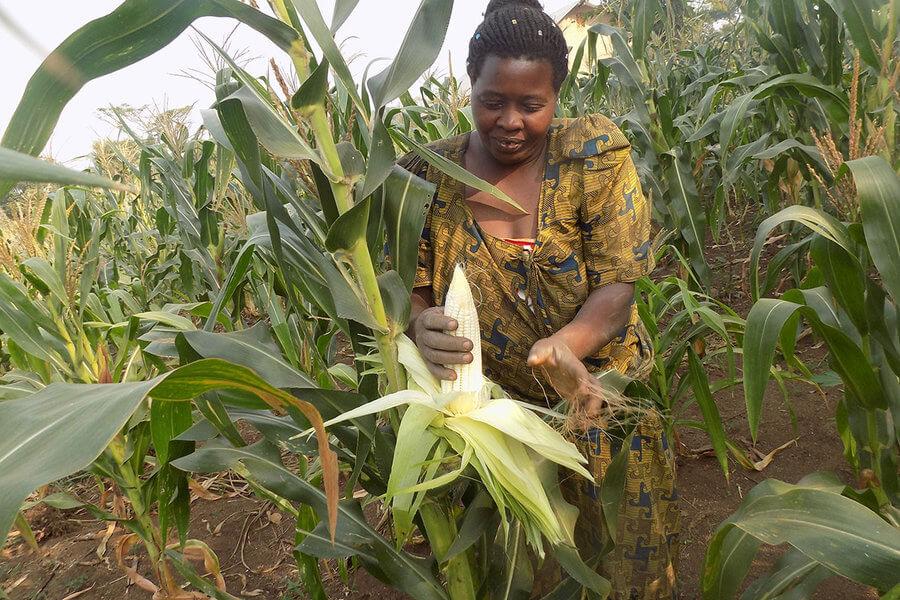 maize standard