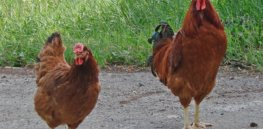 poltava chicken breed male and female