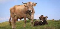 a df b a c d fa cows b