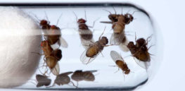c drosophila fruit flies in a test tube spl x
