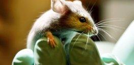 cantor lab mice