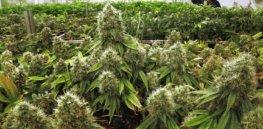 marijuana image
