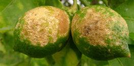 bg citrus greening glp