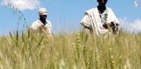 food africa wheat