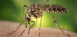 mosquito dengue