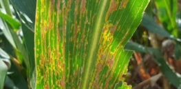 corn bacterial leaf streak backlit severe lesions