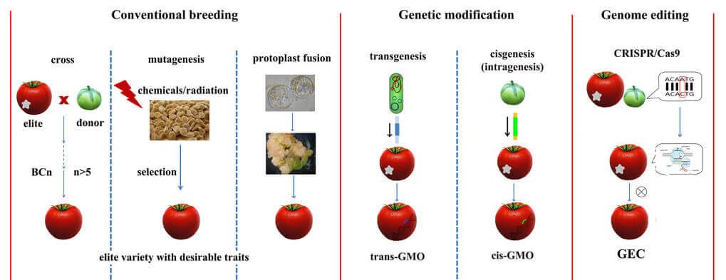 Comparison of four breeding methodologies. Conventional breeding mainly relies on hybridation between a donor and a recipient line. The progeny is selected for the desired characteristic. To remove unwanted traits from donor plant, the best line of the progeny is obtained by backcrossing with recipient line. Transgenesis is the genetic modification of a recipient line with genes from other species which are sexually incompatible with the recipient plant. Cisgenesis is the genetic modification of a recipient plant transformed with a natural gene for a crossable plant. Genome editing is a type of genetic engineering in which DNA is directly inserted, replaced, or removed from a genome using engineered nucleases, the so called