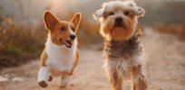 corgi and terrier running